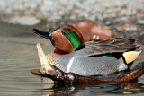 Green Wing Teal 4