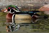 Drake Wood Duck 3