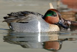 Green Wing Teal 5