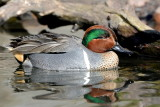 Green Wing Teal 6