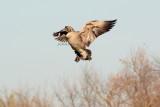 Landing Honker