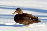 Black Duck in Snow