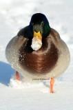 Snowy Mallard