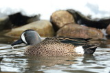 Blue Wing Teal 2