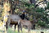 Momma and calf elk