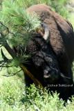 Buffalo vs. Tree 2