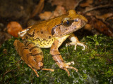 Ground frogs (Myobatrachidae and Microhylidae)