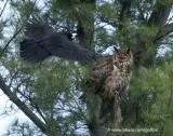 Crow versus Owl (insert sound of crows mobbing)