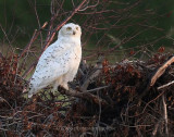 Labour Day weekend Snowy Owl