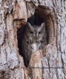 Screech Owl at ISO 12,800 (Canon 7D MK2)