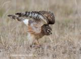Northern Harrier stretch