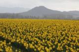 Daffodils and Rain