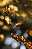 Russet and Gold