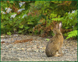 A Snow Shoe Rabbit Not Yet Changing Color