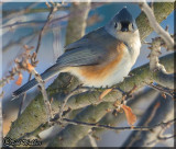 The Tufted Titmouse Gallery