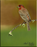 The House Finch Gallery