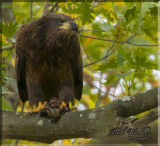 Immature American Bald Eagle On The Lookout For Poachers