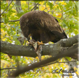 Immature American Bald Eagle Enjoying A Little Meal