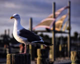 Western Gull at the Redondo Beach Pier