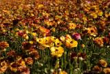 Ranunculas in Bloom