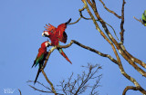 Ara chloroptère - Red-and-green macaw