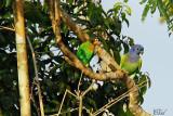 Caïque de Barraband et Pione à tête bleue - Orange-cheeked Parrot and Blue-headed parrot