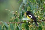 Cardinal à dos noir - Black-backed grosbeak