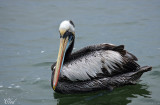 Pélican thage - Peruvian pelican