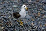 Goéland Siméon - Belcher's Gull