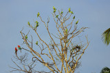 Aras, Pione et quinze Amazone poudrée! - One Blue-headed Parrot, two Macaws and fifteen Mealy Parrot