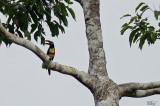 Araçari à oreillons roux - Chestnut-eared Aracari
