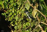 Martin-pêcheur d'Amazonie - Amazon Kingfisher