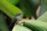 Colibri grivelé - Many-spotted hummingbird