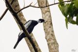 Cotinga à col nu - Bare-necked Fruitcrow