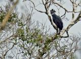 Harpie féroce - Harpy eagle