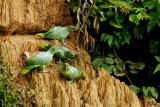 Amazone poudrée - Mealy Parrot