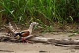 Ouette de l'Orénoque - Orinoco Goose