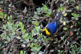 Tangara à col d'or - Golden-collared Tanager