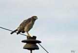 Buse à gros bec - Roadside hawk