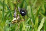 Donacobe à miroir - Black-capped Donacobius