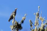 Pigeon à queue barrée - Band-tailed Pigeon