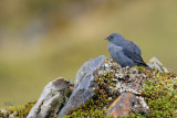 Haplospize gris-de-plomb - Plumbeous Sierra-Finch