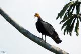 Urubu à tête jaune - Lesser Yellow-headed Vulture