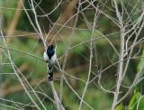 Tangara pilurion - Magpie Tanager