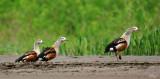 Ouettes de l'Orénoque - Orenoco Geese