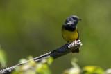 Paruline triste - Mourning warbler