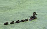 Canards branchus - Wood ducks