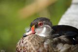 Canard branchu (en éclipse) - Wood duck