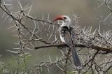 Calao à bec rouge -Red-billed hornbill