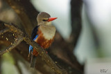Martin-chasseur à tête grise - Gray-headed kingfisher